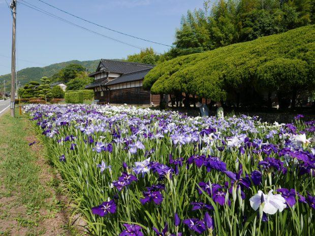 Iris Garden of Kusuura